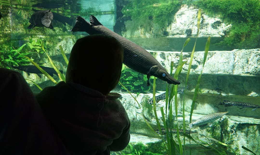 Les poissons alligator de l'aquarium de Lyon